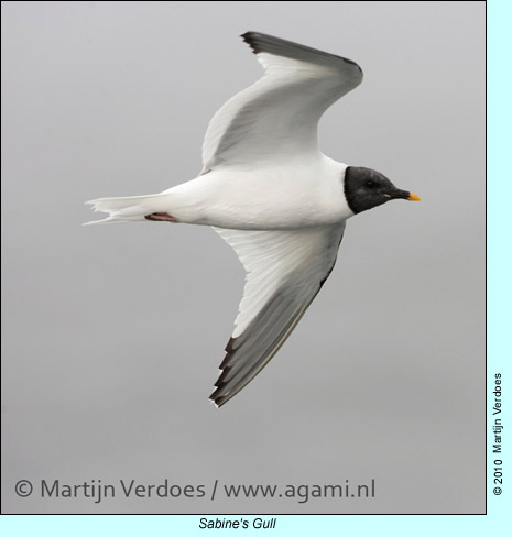 Sabine's Gull, photo by Martijn Verdoes