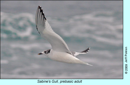 Sabine's Gull, prebasic adult photo by Jeff Poklen