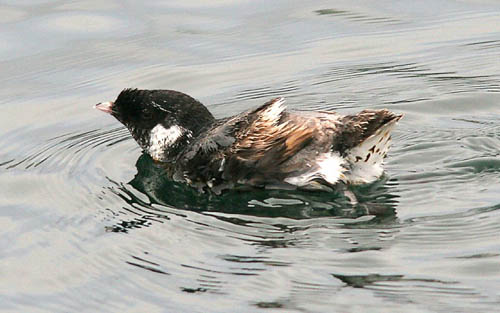 Ancient Murrelet photo by Jeff Poklen