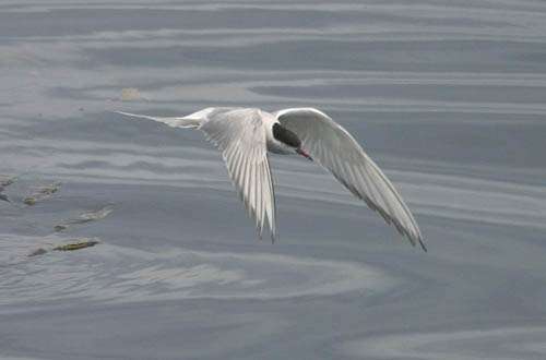 Arctic Tern photo by Les Chibana