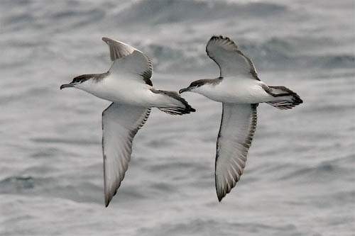 Buller's Shearwater photo by Jeff Poklen