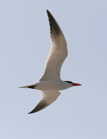 Caspian Tern, photo by Jeff Poklen