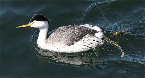 Clark's Grebe photo by Jeff Poklen