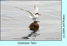 Common Tern, photo by Jeff Poklen