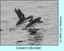 Craveri's Murrelet, photo by Les Chibana