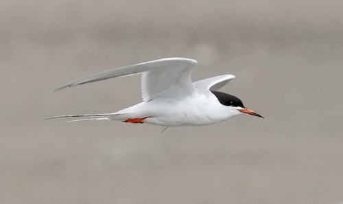 Forster's Tern, photo by Jeff Poklen