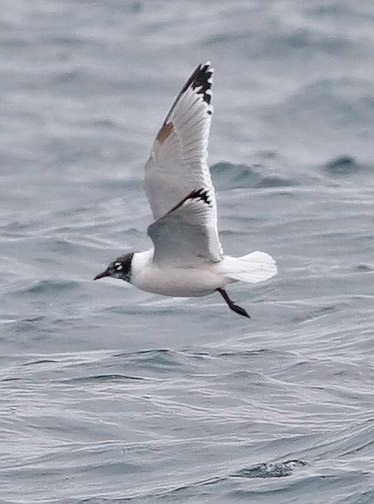 Franklin's Gull, photo by Jeff Poklen