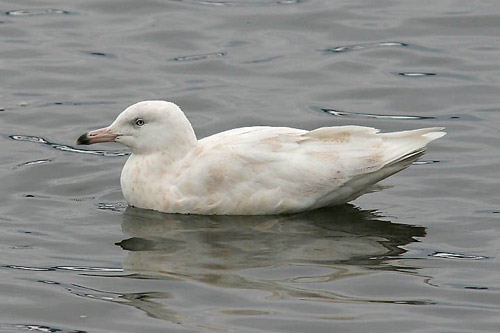 Glaucous Gull, photo by Jeff Poklen