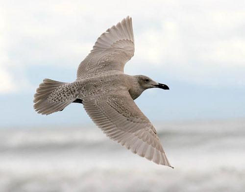 Glaucous-winged Gull, photo by Jeff Poklen