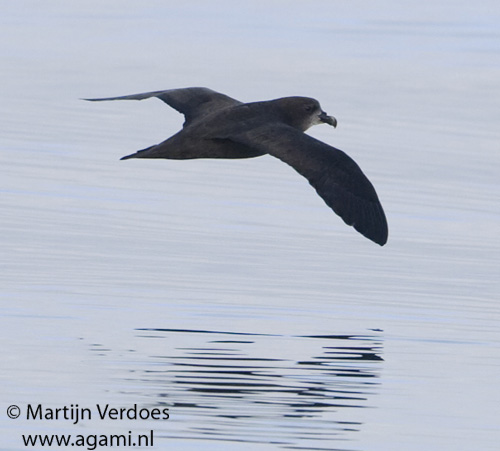 Great-winged Petrel photo by Martijn Verdoes