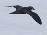 Grreat-winged Petrel