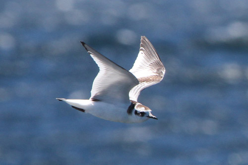 Little Gull photo by Jim Holmes