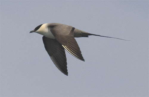 Long-tailed Jaeger photo by Les Chibana