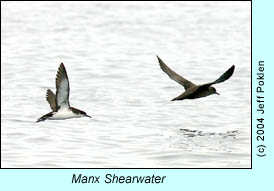 Manx Shearwater, photo by Jeff Poklen