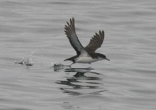 Manx Shearwater photo by Les Chibana