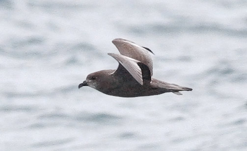 Wilson's Storm Petrel photo by Jeff Poklen