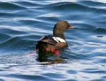 Pigeon Guillemot in alternate plumage