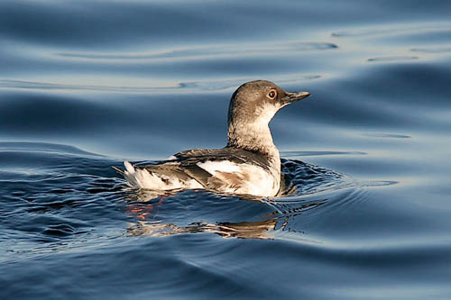 Pigeon Guillemot in basic plumage, photo by Jeff Poklen