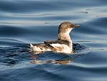 Pigeon Guillemot in basic plumage