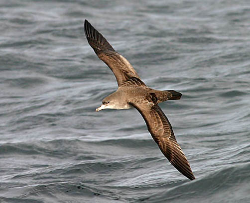 Pink-footed Shearwater photo by Jeff Poklen