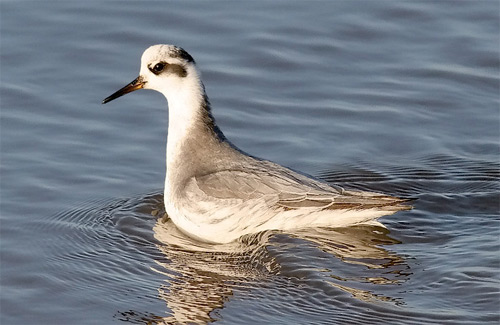 Red Phalarope, photo by Jeff Poklen