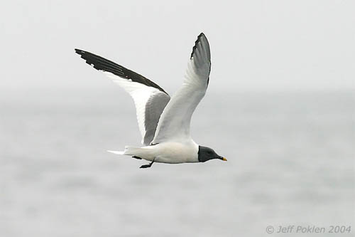 Sabine's Gull photo by Jeff Poklen