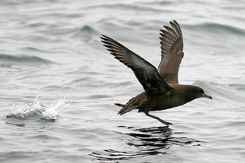 Sooty Shearwater photo by Jeff Poklen