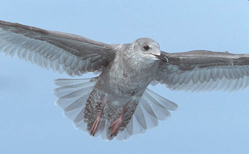 Thayer's Gull photo by Jeff Poklen