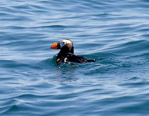 Tufted Puffin photo by Jeff Poklen