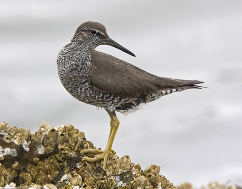 Wandering Tattler photo by Jeff Poklen