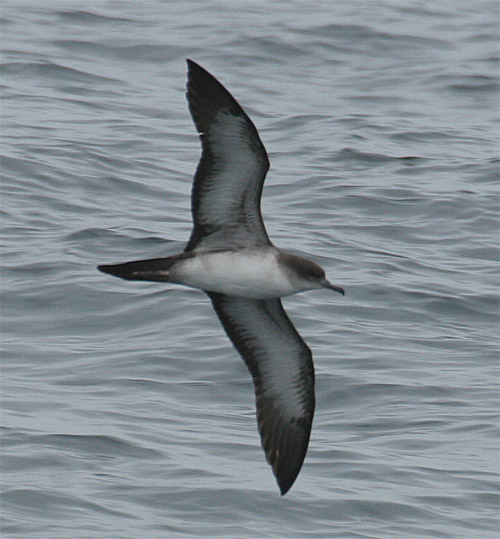 Wedge-tailed Shearwater photo by Todd Easterla