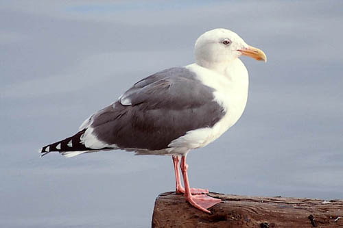 Western Gull photo by Jeff Poklen