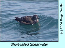 Short-tailed Shearwater, photo by Roger Wolfe