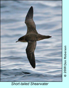 Short-tailed Shearwater, photo by Don Roberson