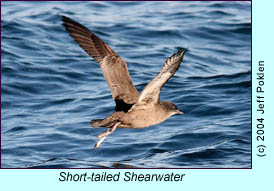 Short-tailed Shearwater, photo by Jeff Poklen