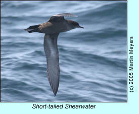 Short-tailed Shearwater, photo by Martin Meyers