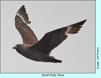 South Polar Skua photo by Jeff Poklen