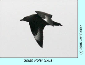 South Polar Skua, photo by Jeff Poklen