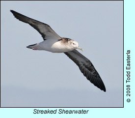 Streaked Shearwater, photo by Todd Easterla