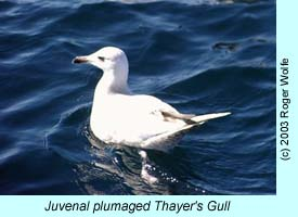 Thayer's Gull photo by Roger Wolfe