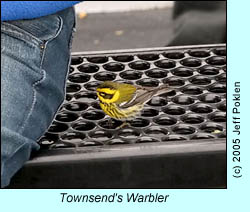Townsend's Warbler, photo by Jeff Poklen