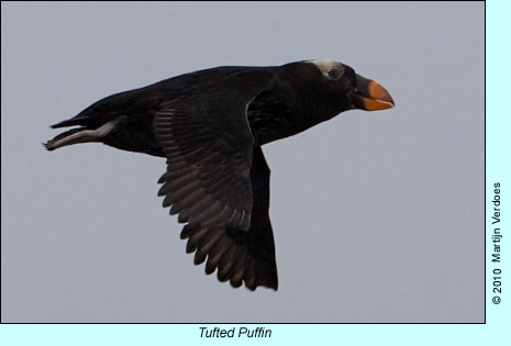 Tufted Puffin, photo by Martijn Verdoes