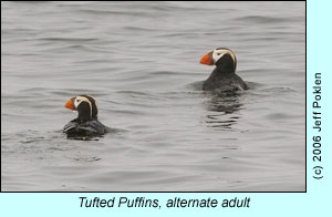 Tufted Puffins, alternate adult, photo by Jeff Poklen