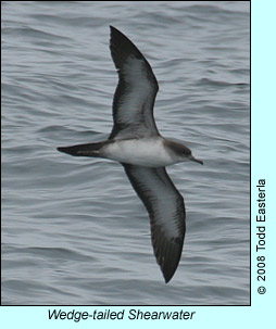 Wedge-tailed Shearwater, photo by Todd Easterla