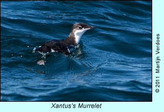 Xantus's Murrelet  photo by Martijn Verdoes
