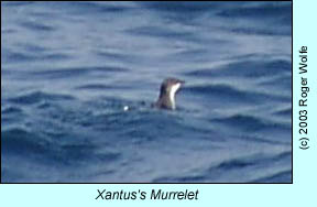 Xantus's Murrelet, photo by Roger Wolfe