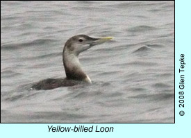 Yellow-billed Loon, photo by Glen Tepke
