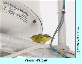 Yellow Warbler on boat, photo by Jeff Poklen